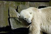 White (polar) bear in Zoo. Kaliningrad Russia. poster