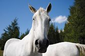 wonderful white male horse looking at camera poster