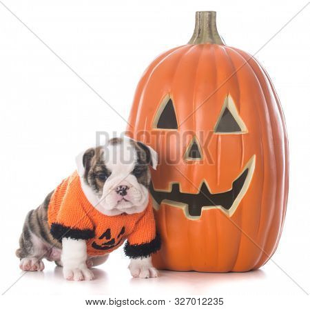 female English bulldog puppy wearing halloween sweater sitting beside a pumpkin isolated on white background