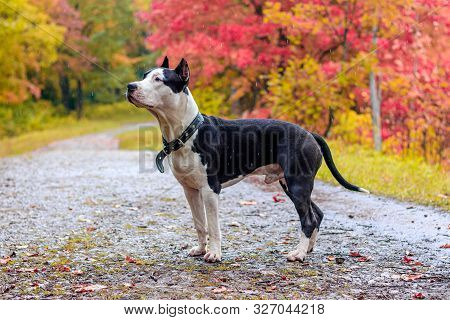 Amstaff Dog On A Walk In The Park. Big Dog. Bright Dog. Light Color. Home Pet. Black And White Dog