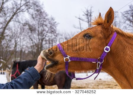 Person Touching Equine Muzzle Against Winter Rural Landscape. Man's Hand And Horse Head Close Up. Hu