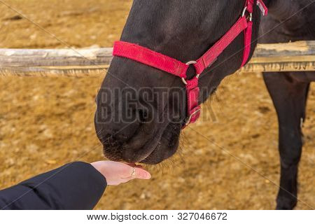 Person Feeding Horse Against Winter Rural Landscape. Woman's Hand And Equine Head Close Up. Human An