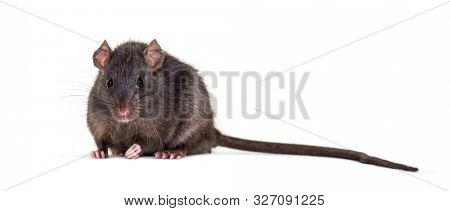 Black rat, Rattus rattus, sitting in front of white background