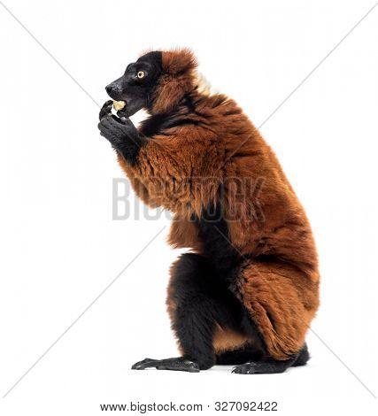 Red ruffed lemur, Varecia rubra, eating against white background