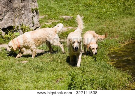 A Pack Of Golden Retriever Dogs Play Together Outdoor, Next To A Pond.