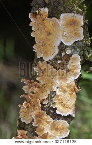 Bleeding Broadleaf Crust - Stereum Rugosum  Fungus Growing On Twig