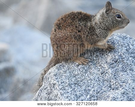 Rock Squirrel, Silverwood Lake, San Bernardino Mountains, California.