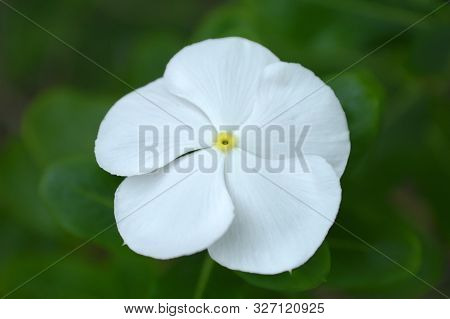 White Catharanthus Flower From Central Of Thailand