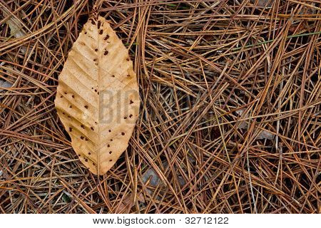 Brown Leaf on Pine Needles
