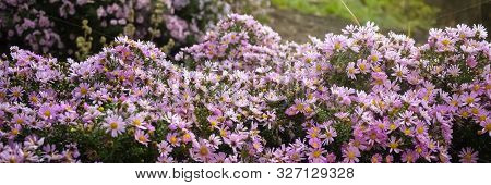 Autumn Purple Flowers. Tripolium Pannonicum, Called Sea Aster Or Seashore Aster And Often Known By T