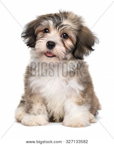 Beautiful Smiling Little Havanese Puppy Dog Is Sitting Frontal And Looking Upwards - Isolated On Whi