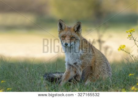 Portrait Of A Red Fox (vulpes Vulpes) In Natural Environment. Amsterdamse Waterleiding Duinen In The