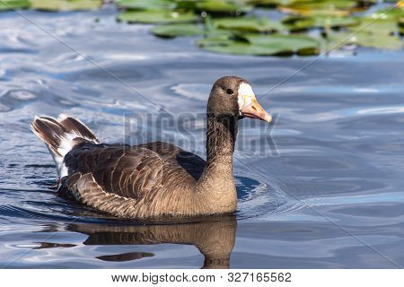 The Greylag Goose (anser Albifrons) Is A Species Of Large Goose In The Waterfowl Family Anatidae Swi