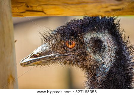 An Emu Inside A Fenced-in Area Looks Out By The Corner Fencepost. Its Orange Eye Looks Bright, And T