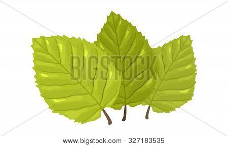 Three Green Leaves With Visible Tertiary Veins Of Beech Tree. Springtime, Summertime Concept. Cartoo
