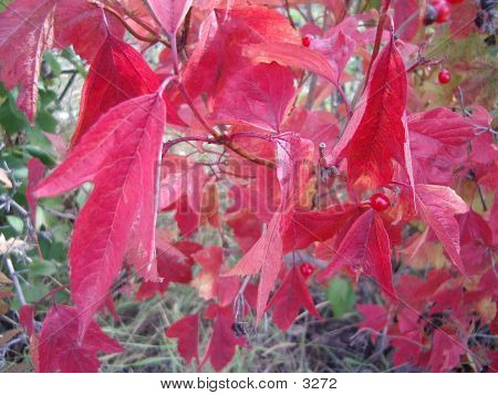 Red Leaf One