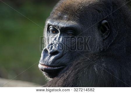 Portrait Of A Black Western African Gorilla   Gorillas Are Ground-dwelling, Predominantly Herbivorou