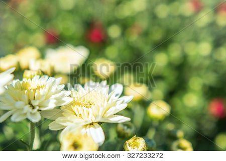 White Chrysanthemum Mum Flowers And Buds