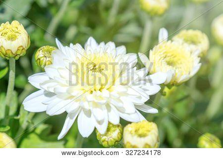 White Chrysanthemum Mum Flowers And Buds, White Mum