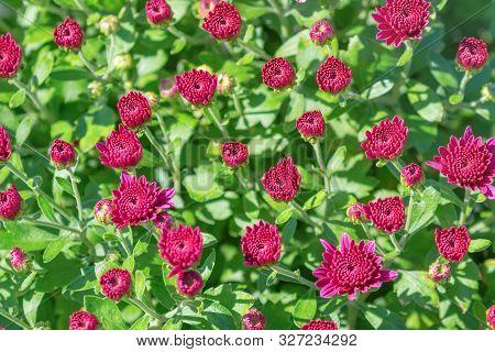 Red Chrysanthemum Mum Flowers And Buds. Red Mum