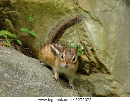 Curious chipmunk on a rock in the garden poster
