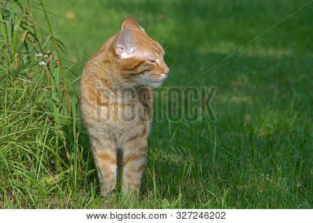 Red Cat Stands On The Grass And Squints At The Sun
