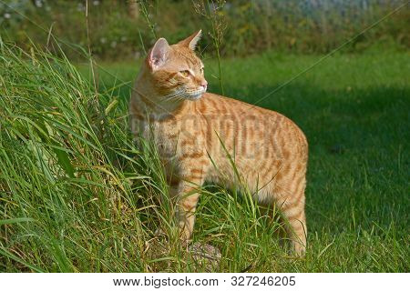 Red Cat Stands On The Lawn, Leaning His Forepaws On A Stone