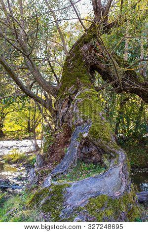 Broken Hollow Willow Tree Near Olt River At Autumn In Transylvania, Romania, Vertical Shot.