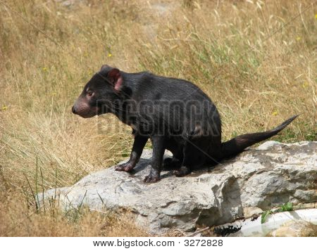 The Tasmanian devil is a native animal of Tasmania poster