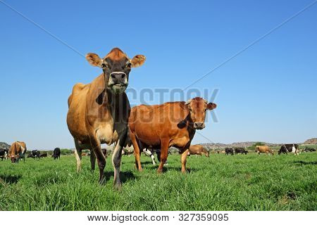 Low-angle view of dairy cows grazing on lush green pasture against a clear blue sky