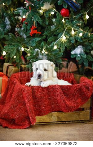 Adorable Puppies Of The Central Asian Shepherd Under The Christmas Tree At Home In The New Year
