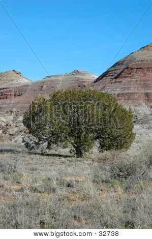pinon pine in colorado high desert poster
