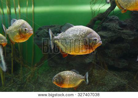 Red Piranha (pygocentrus Nattereri), Also Known As The Red-bellied Piranha, Red Belly Piranha In The