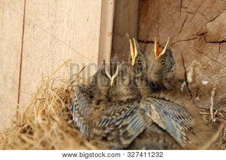 Four Young Chicks Of Eurasian Jay (garrulus Glandarius).