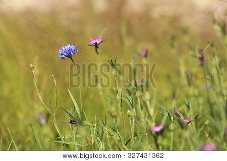 Wildflower Meadow With Corncockle (agrostemma Githago) And Cornflower (centaurea Cyanus)