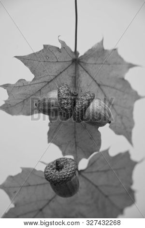 Ripened Acorn Fruit With Hard Leathery Pericarp Against The Background Of Autumn Leaves Black And Wh