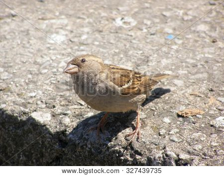 Female Sparrow Stands On A Stone And Looks Watchful