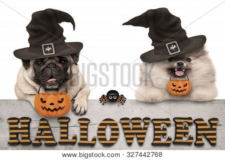 Cute Halloween Puppy Dogs - Pug And Pomeranian Spitz - With Pumpkin Candy Basket For Trick And Treat