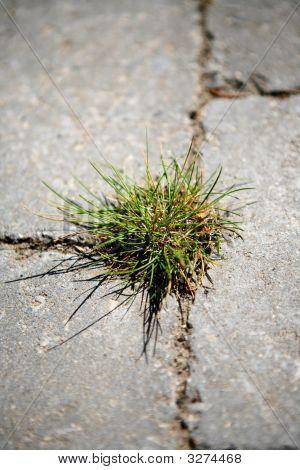 Grass Growing Between Flagtones