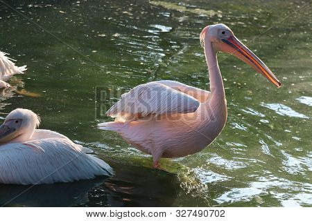 The Great White Pelican (pelecanus Onocrotalus) Aka The Eastern White Pelican, Rosy Pelican Or White