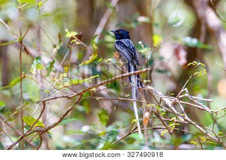 Beautiful Madagascar Bird, Paradise-flycatcher Black Version, Terpsiphone Mutata. Ankarafantsika Nat