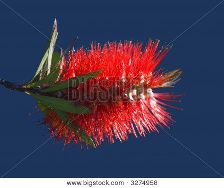Bottle Brush Tree Flower