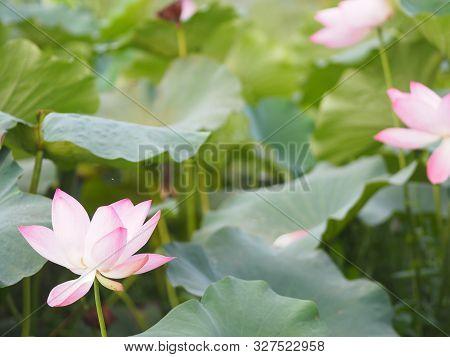 Plantae, Indian, Sacred Lotus, Bean Of India, Nelumbo, Nelumbonaceae Name Flower In Pond Large Flowe