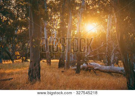 Sunset Viewed Through Eucalyptus Trees, South Australia