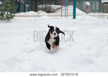 Cute Bernese Mountain Dog Puppy Runs In The Snow, Berner Sennenhund Puppy In The Snow