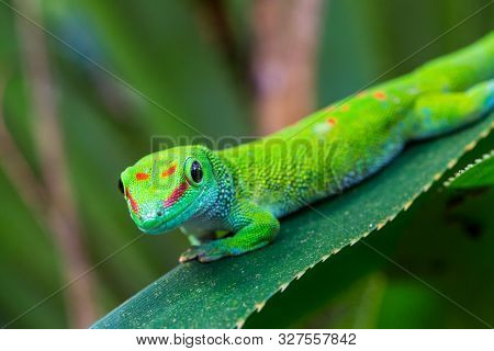 Close-up Natural Madagascar Giant Day Gecko (phelsuma Grandis) On Green Leaf