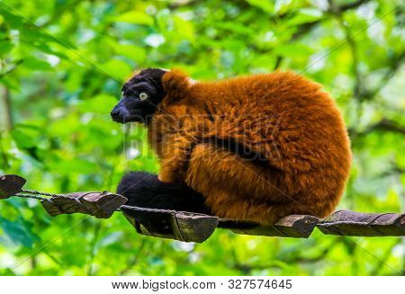 Closeup Portrait Of A Red Ruffed Lemur Monkey, Critically Endangered Animal Specie From Madagascar