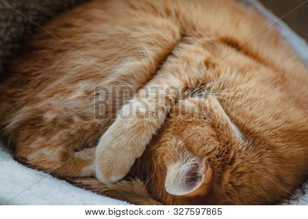 Beautiful Red Cat Sleeping, Close-up. Concept. Healthy Restful Sleep And Life