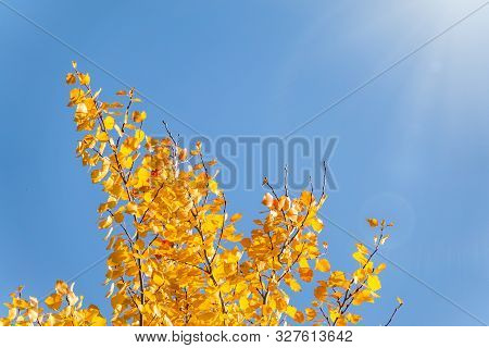 Aspen Branches With Yellow Leaves In Autumn Against A Blue Sky. Bright Yellow And Orange Autumn Leav