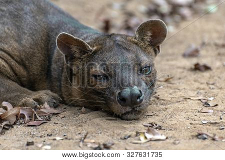 The Detail Of Fossa ((cryptoprocta Ferox). Unique Endemic Species